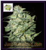 Cream of the Crop Auto Crop Circle Fem 5 Seeds
